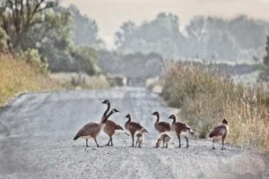 geese walking across the road