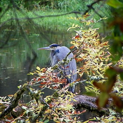 blue heron in the wild