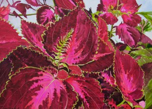 Red and Green Foliage Plant