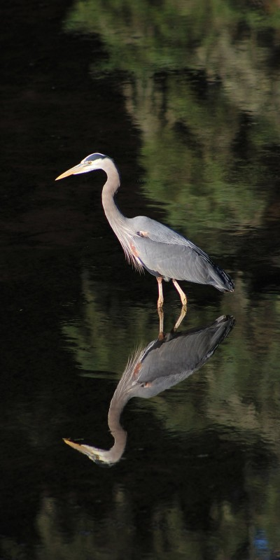 photo of a blue heron