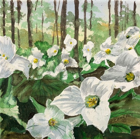trilliums in the forest